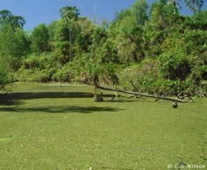 The dreaded salvinia.  If you're not familiar with this weed, that nice, smooth lawn is actually a water body.