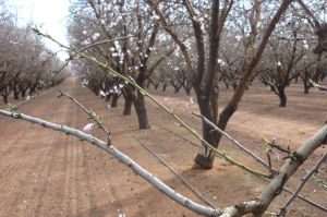 A conventional monoculture almond plantation in Australia.