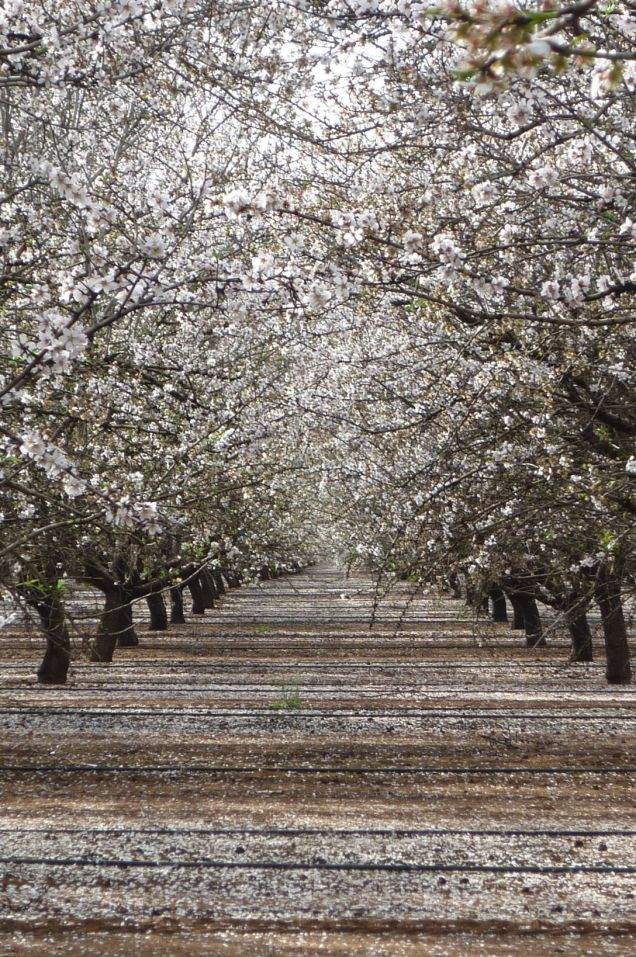 An almond plantation in full bloom.