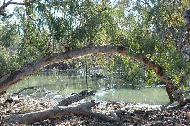 A red gum sends out a branch to tap into the water of the Hattah Lakes, just out of reach during dry times.
