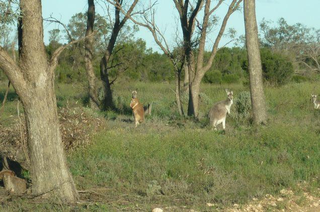 Red kangaroos in Hattah-Kulkyne National Park, Victoria