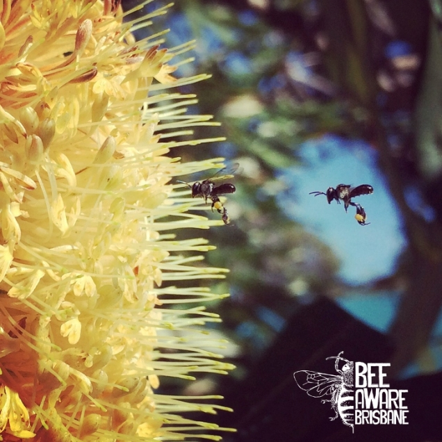 Stingless bees visiting banksia flower. (Photo: Tobias Smith)