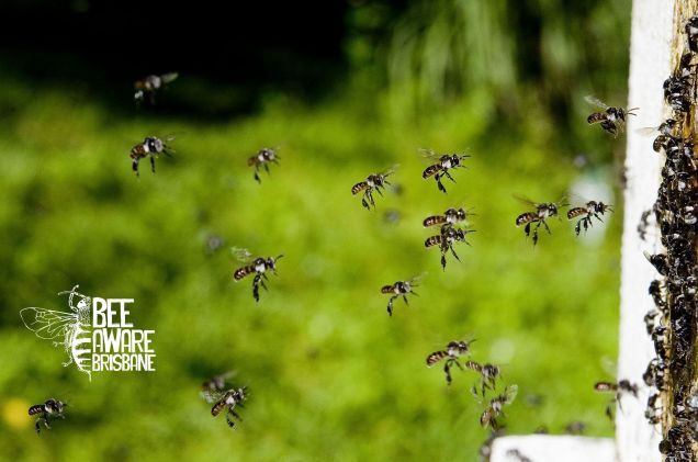 Stingless bees returning to their 'hive'. (Photo: Tobias Smith)