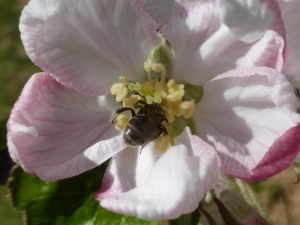 Native Lasioglossum sp. bee polinating an apple blossom