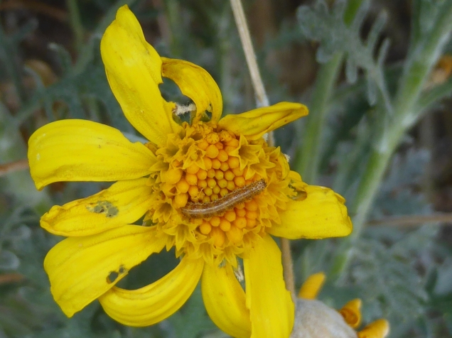 Flowers have predators too. Butterfly & moth larvae can turn a perfect flower into a defaced beauty - don't be frightened!
