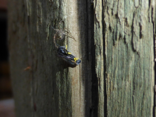 Even our favourite insects have predators. This spider was lying in wait for an unsuspecting native bee searching for its nest hole.