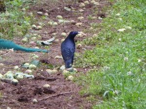 Satin bowerbirds are often considered pests in apple orchards, but this male and his family were eating the rotting thinned apples on the orchard floor.