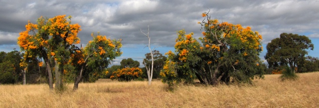 Nuytsia floribunda (Source: enjosmith)