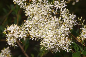 Bursaria spinosa (Source: Australian Native Plants Society)