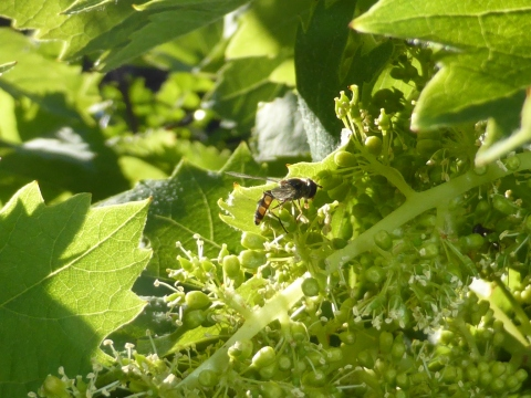 Hoverflies on grape flowers. I also saw Euro honey bees on these.