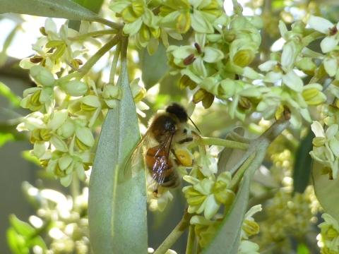 European honey bee on olive flowers.