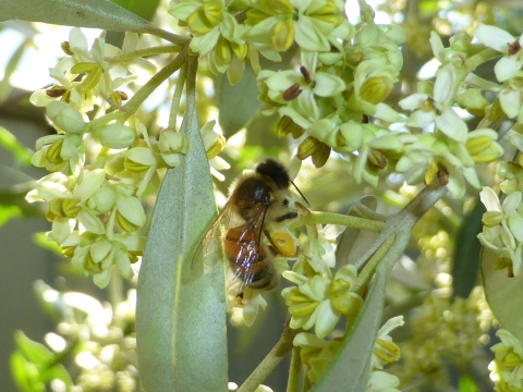 European honey bee on olive flowers.