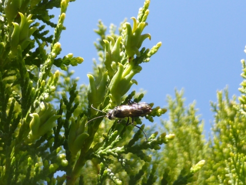 Flower wasp (Tiphiidae sp.) on conifers.