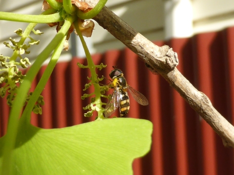 Common hoverfly on male ginkgo tree.