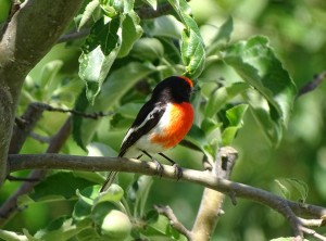 Red-capped robin (Source: Rebecca Peisley)