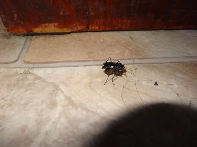 Native spider-hunting wasp (Pompilidae) dragging a paralysed spider across our dirty floor.