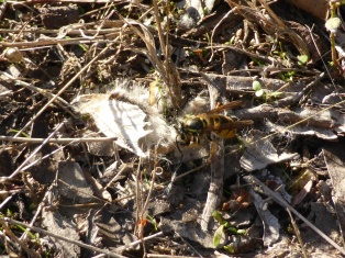 Invasive European wasps (Vespula germanica) devouring a native tussock moth, Victoria Australia.