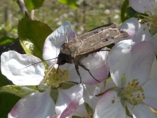 Incidental bogong moth pollination in a Batlow apple orchard (October 2014)