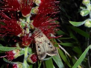Bogong moth feeding frenzy in our backyard in Albury (November 2016)